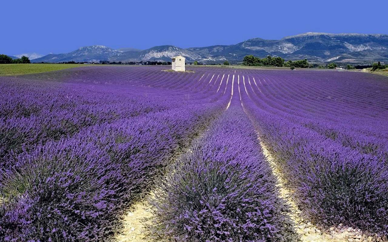 Lavanda fields in Provence